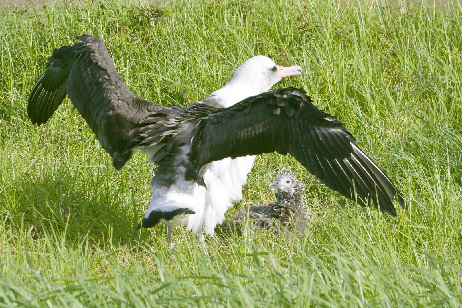 Albatrosse - 2 Generationen