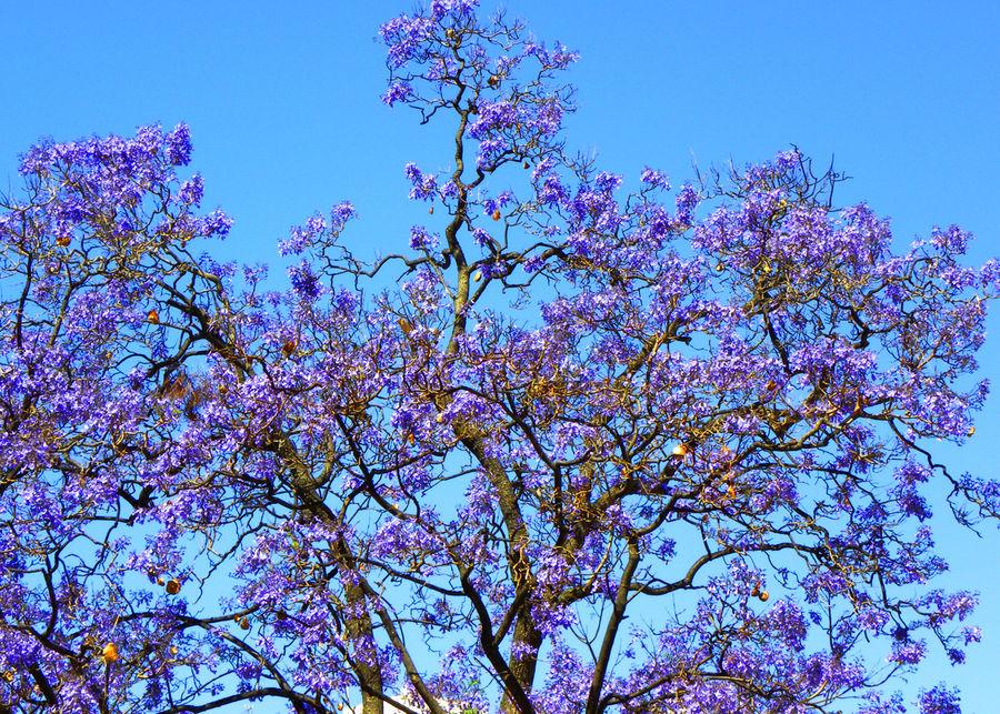 Albero andaluso foto immagini piante fiori e funghi for Albero con fiori blu