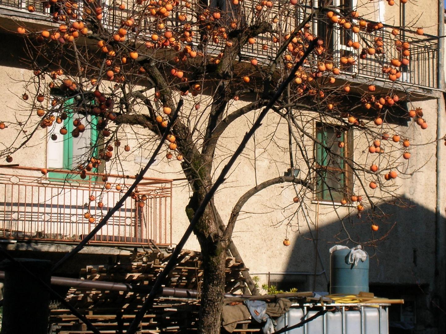 Albero di cachi foto immagini piante fiori e funghi for Albero di cachi