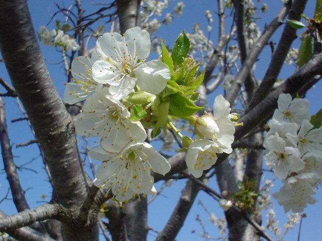 Piante di ciliegio foto piante ciliegio euro plants for Pianta di ciliegio