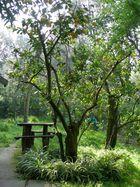 Albero di Limoni Aprile 2007