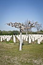 albero in cimitero Canadese (ortona)
