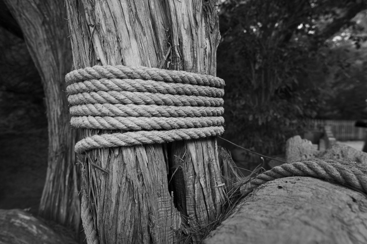 albero legato