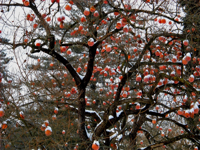 Albero natalizio con cachi e neve foto immagini piante for Albero di cachi