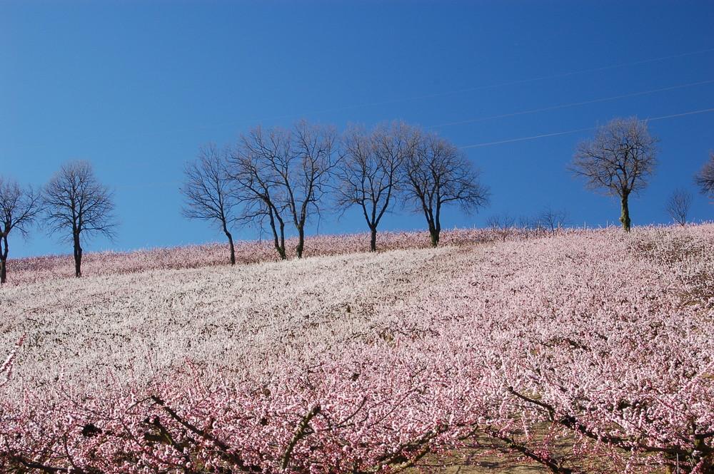 albicocchi in fiore