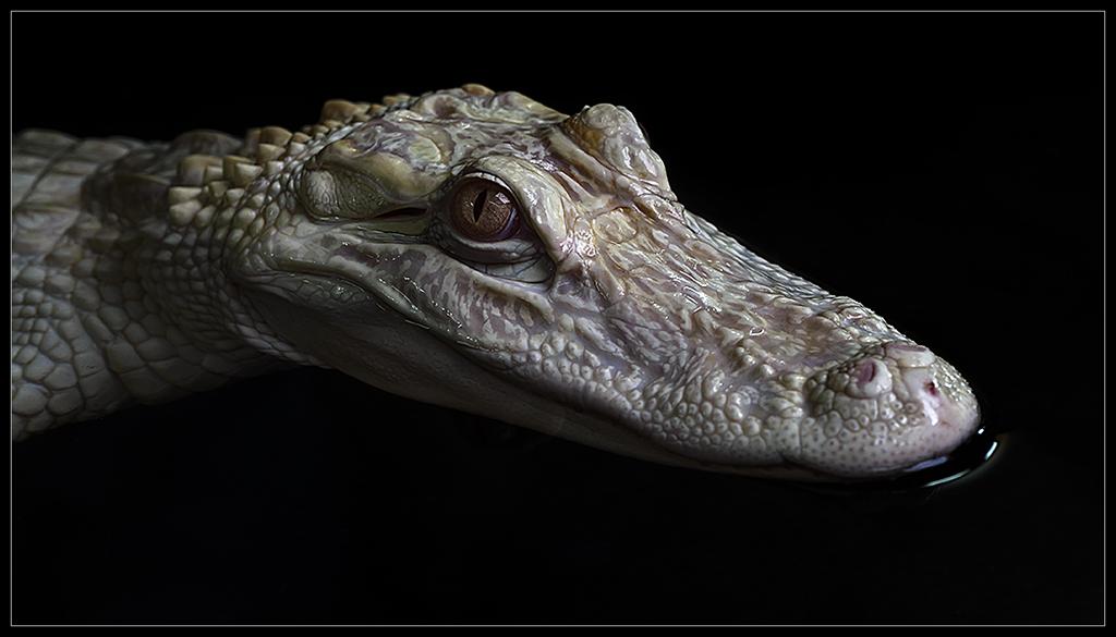 Albino Alligator_I