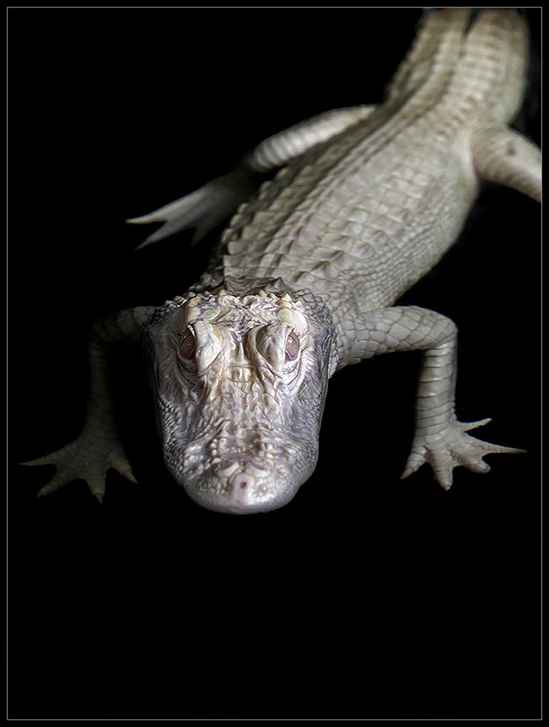 Albino Alligator_II
