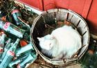 Albino cat in basket