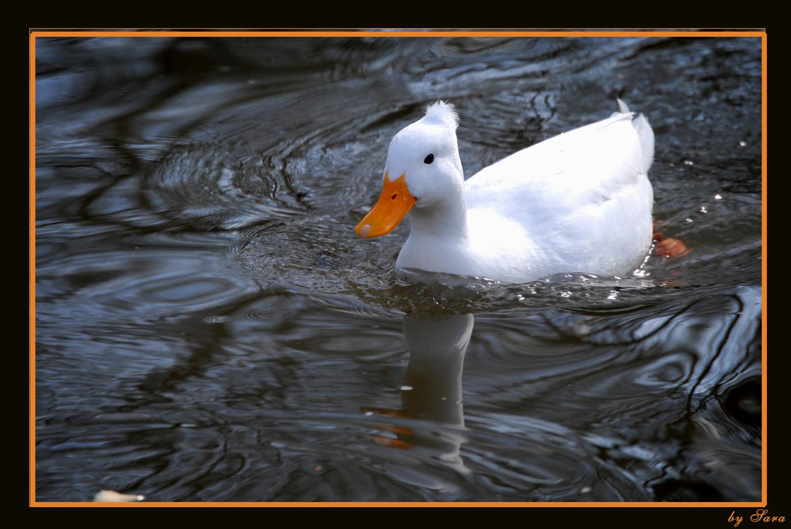 Albino Duck