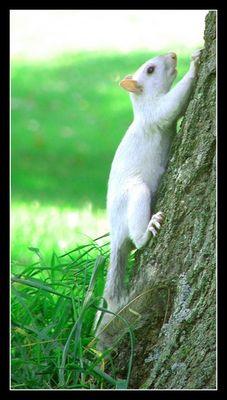 Albino-(Eich-) Hörnchen..oder was auch immer