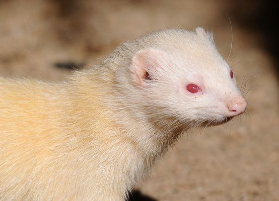 Albino-Frettchen