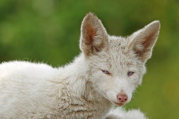 Albino Fuchs