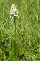 Albino Purpur-Knabenkraut (Orchis purpurea)