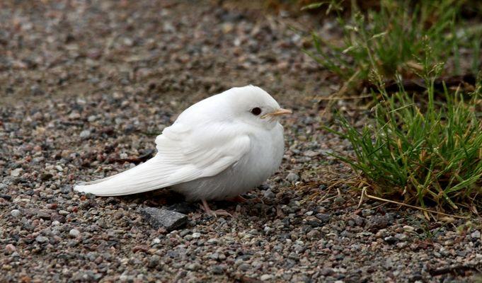 Albino Rauchschwalbe