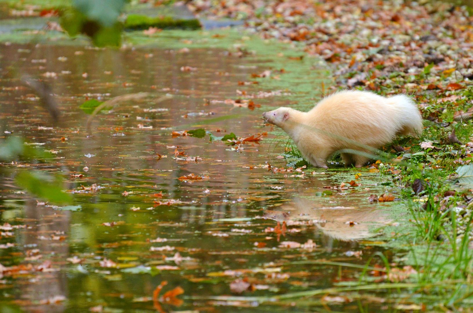Albino-Skunk