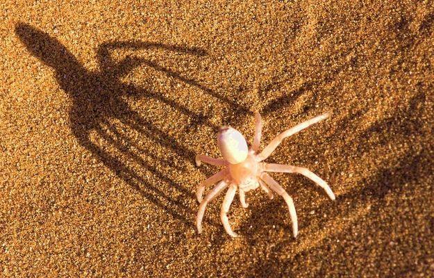 Albino Spinne, Namib Wüste