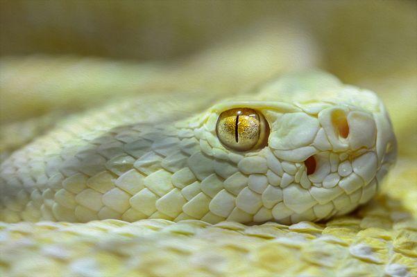 Albino Texas-Klapperschlange
