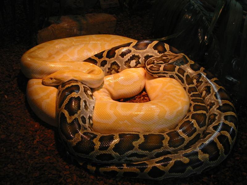 Albino und heller Tigerpython