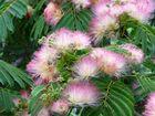 Albizia Blühten