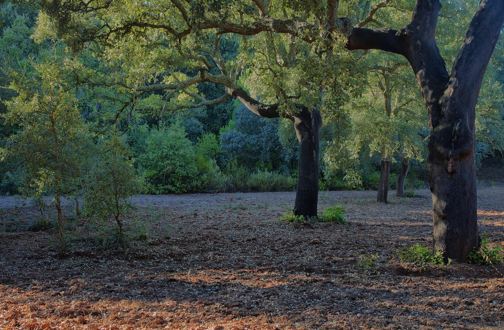 ALCORNOQUES ( 2011 Año Internacional de los Bosques)