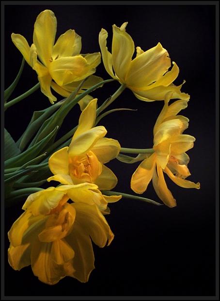 Aldi-Tulpen sind die schönsten...