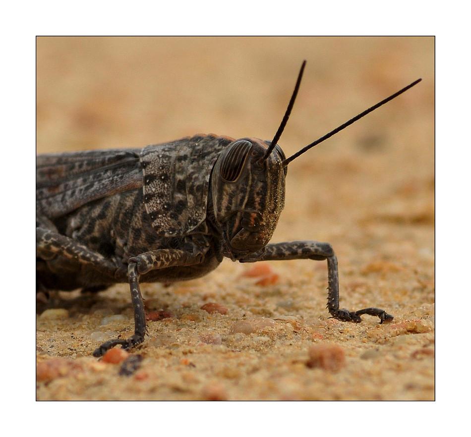 Algarve Heuschrecke