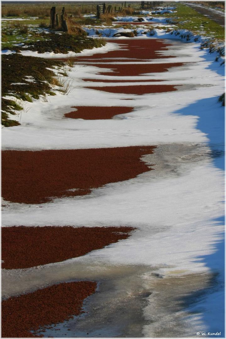 Algenfarn im Winter