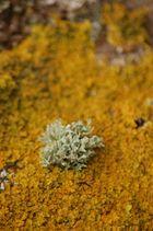algue terrestre