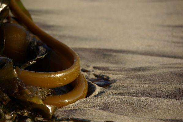 Algues du bord de mer