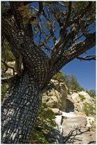 Aligator juniper