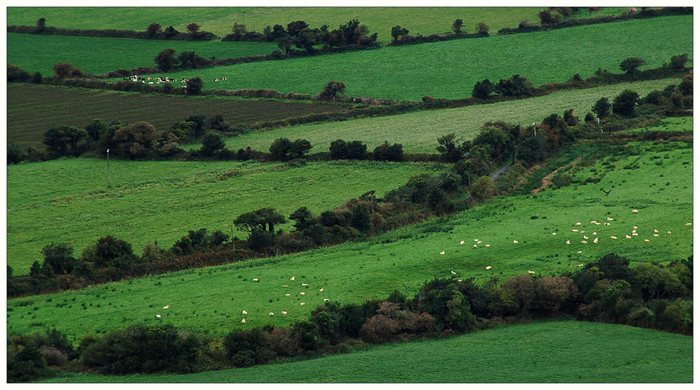 All sheep`s......
