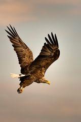 All'alba, l'Aquila di mare