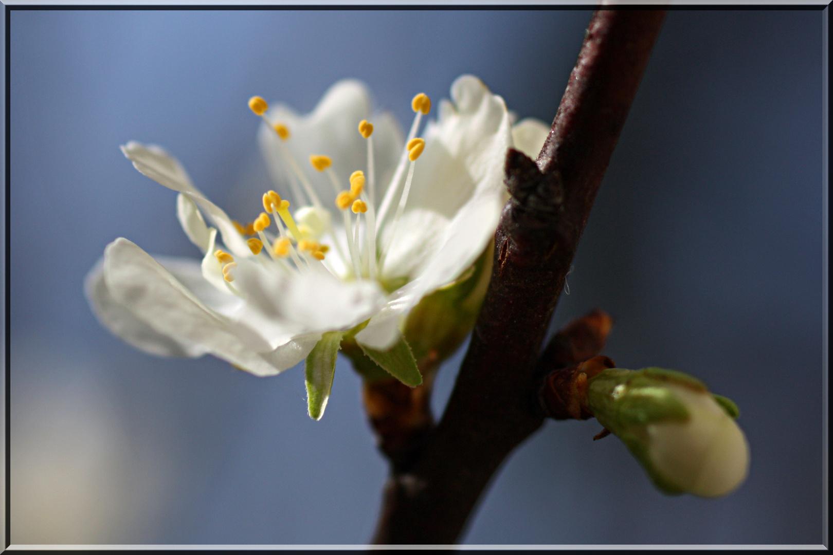 Alle Obstbäume blühen...