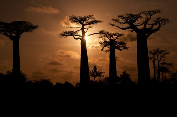 Alleé des Baobab