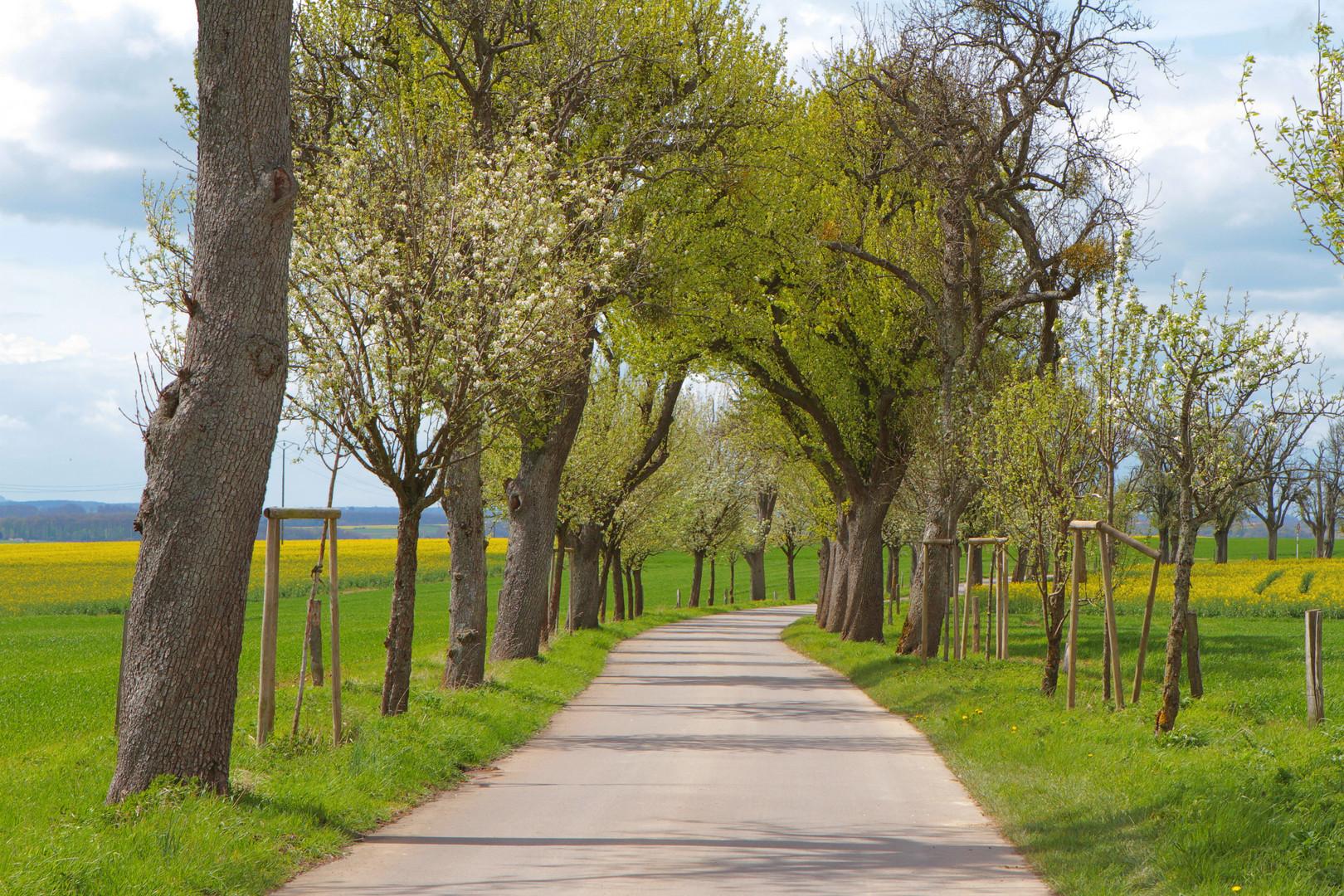 Allee im Frühlingserwachen