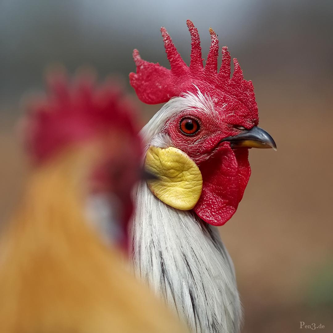 Alleine unter wilden Hühnern