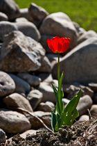 Alleinstehende Tulpe ...