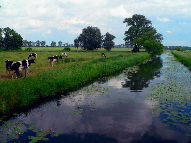 Allerflüßchen mit Kühen bei Grafhorst