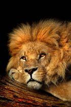 Alles im Blick- Hagenbecks Löwe in der Abendsonne
