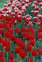 ...alles Tulpen...