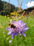Allgäu-Biene