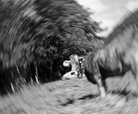 Allgäuer Kuh mit Tunnelblick