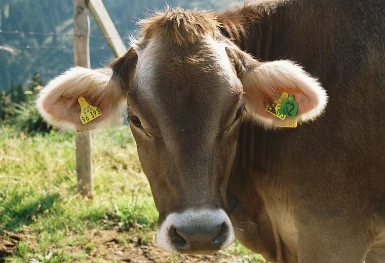 Allgäuer Wuschelohr-Kuh