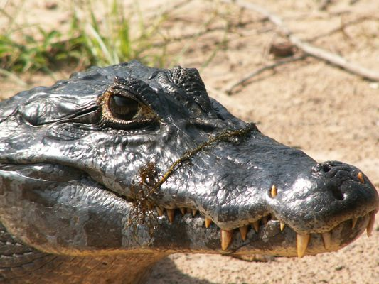 Alligator du Pantanal (Brésil)