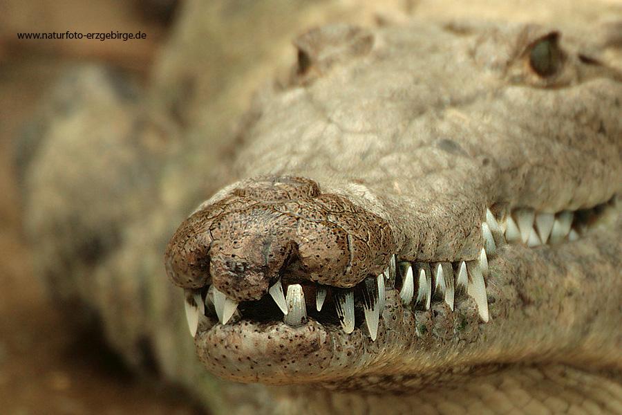 Alligator in Mexico