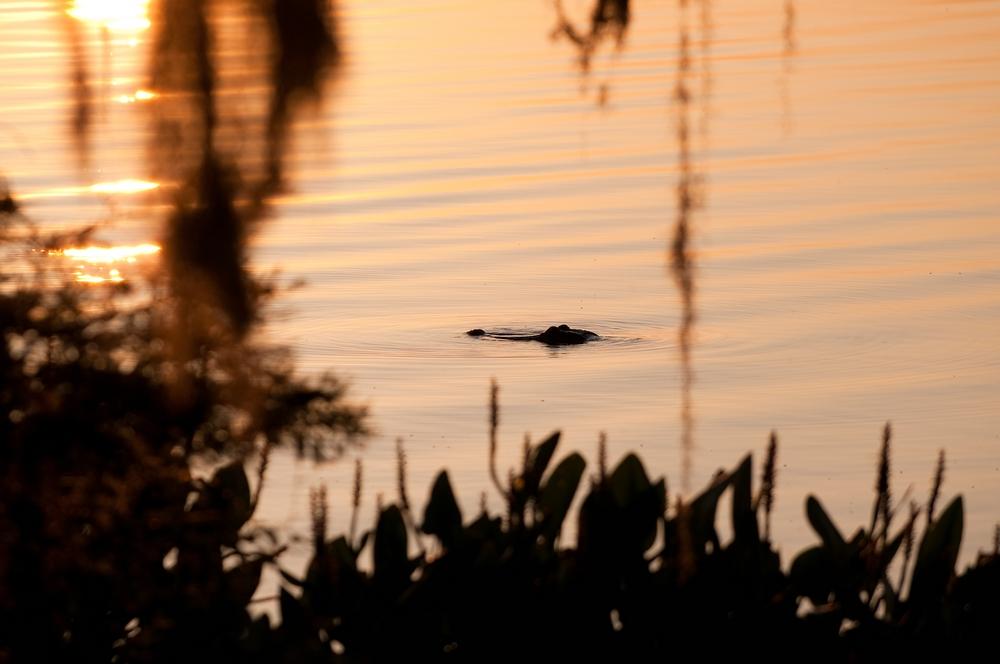 Alligator in the Morning Sun
