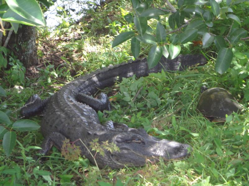 Alligator und Schildkröte im Anhinga-Trail, Flamingo, Florida
