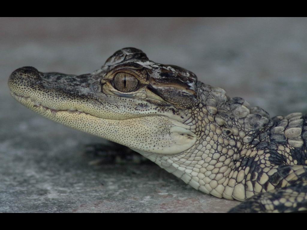 Alligatorbaby