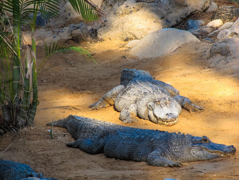 Alligatoren beim relaxen