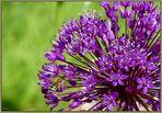 Allium (2)...